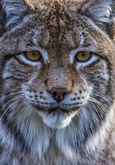 ~~lynx portrait by Lynx Boréal, Eurasian Lynx, Big Cats, Cool Cats, Cats And Kittens, Nature Animals, Animals And Pets, Wild Animals, Beautiful Cats