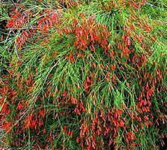July 4th firecracker bush.