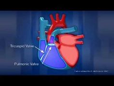 This week in Apologia Human Anatomy and Physiology, we've been studying the circulatory system. Here are some of our favorite circulatory system resources Science Videos, Science Lessons, Teaching Science, Life Science, Circulatory System For Kids, Apologia Anatomy, Cardiac Cycle, Human Anatomy And Physiology, Cardiac Anatomy