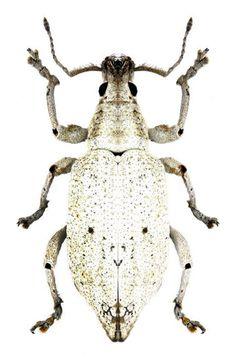 Compsus bisignatus