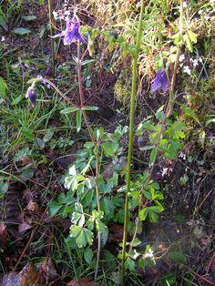 Purple columbine. Erva-pombinha, columbina ou aquilégia. Aquilegia vulgaris