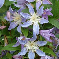 Clematis 'Blue River' - Clematis Plants - Thompson & Morgan