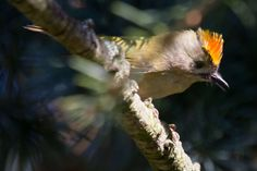 My favourite bird - the Goldcrest. This female is displaying. She weighs about 5 grams and raises two broods of a dozen chicks if the supply of bugs and insects for food permit!