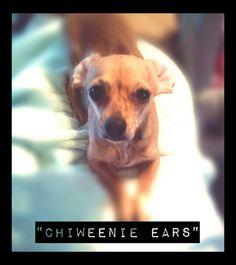 Chiweenie Ears