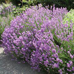 Lavandula angustifolia 'Jamlitz' - Garten-Lavendel