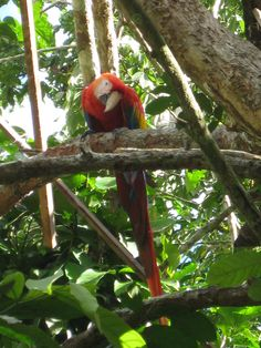 Claire Andre, Scarlet Macaw taken at Inkaterra Reserva Amazonica