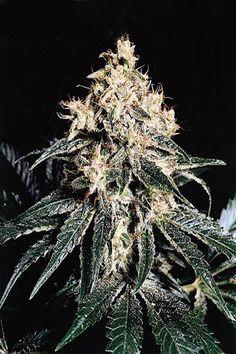 Devil regular cannabis seeds
