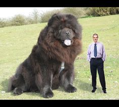 The biggest dog in the world?
