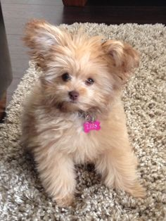 Our new PomaPoo Puppy named Braidy | Cute Girls Hairstyles ...