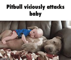 Not vicious them and AMerican Bulldogs are most loyal loving and lovable breed ever Don't judge or trash one breed so bad that nobody would want them at all once you go pit you won't never quit Pitbull viciously attacks baby GIF Cute Funny Animals, Funny Animal Pictures, Funny Cute, Cute Pictures, Funny Babies, Funny Dogs, Cute Babies, Funny Memes, Videos Funny