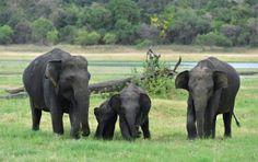 Cricket: Sri Lanka eyes elephant menace at stadium | Daily News