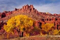 Located in south-central Utah in the heart of red rock country, Capitol Reef National Park is a hidden treasure filled with cliffs, canyons, domes and bridges. Pictured here are cottonwood trees in front of the Castle in Capitol Reef. Enjoy the fall colors while they last! Photo by Glenn Nagel (www.sharetheexperience.org)