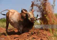 An Indian bull is trained by its owner ahead of the Jallikattu bull taming event, in the south Indian city of Madurai on Febuary 7, 2017. Week-long protests in January in Chennai prompted authorities to approve an executive order lifting a Supreme Court ban on the Jallikattu bull taming ritual. Residents of the southern state of Tamil Nadu maintained that the Jallikattu festival was a crucial part of their culture. / AFP / ARUN