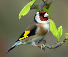 Both the sexes are much alike, with a red face, black and white head, warm brown upperparts...