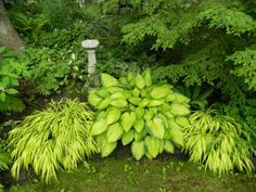 Garden With Japanese Forest Grasses And Hosta : Ornamental Japanese Forest Grass In Your Outdoor Yard Garden Garden backyard Garden design Garden ideas Garden plants Back Gardens, Outdoor Gardens, Amazing Gardens, Beautiful Gardens, Toronto Gardens, Shade Garden Plants, Green Plants, Japanese Garden Design, Japanese Gardens
