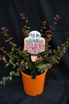 Growers of Quality Nursery Stock Since 1959 - Chilean Guava ™ Guava Tree, Garden Care, Planter Pots, Nursery, Gardening, Room Baby, Garten, Baby Room, Lawn And Garden