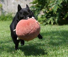 schipperke dog photo   Schipperke dog with a toy photo and wallpaper. Beautiful Schipperke ...