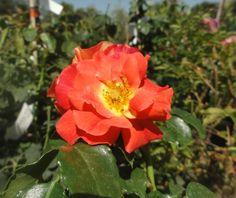 Róża wielokwiatowa Gerbruder Grimm R