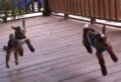 Baby Goats in Sweaters Running With a Little Girl (Video) ~Bouncing baby goats are just the cutest things!