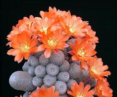 beautiful blooming cactus