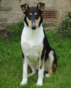 Smooth Collie dog photo | Foxearth Flock Master For Breckamore wins Limit Dog at Crufts.