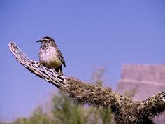 Birds of Phoenix - Gallery 3: Cactus Wren