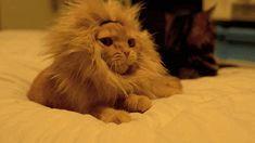 Lion cat is the cutest cat