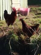 rhode island red roosters | Livestock | Gumtree Australia Meander Valley - Deloraine | 1155394883