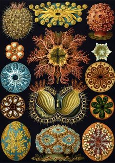Ernst Haeckel, Kunstformen der Natur : Art Forms of Nature (Lithographic and Autotype prints), Published in sets of ten between 1899 and 1904.