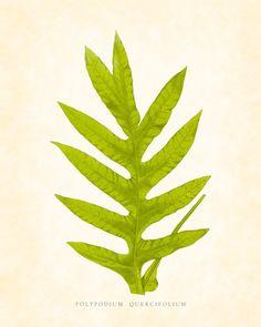 Botanical Art Print - Antique Fern Series Plate 5. $10.00, via Etsy.