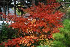 amelanchier grandiflora forest prince (serviceberry tree)