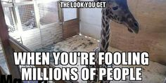 #AprilTheGiraffe