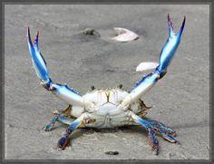 Chesapeake Bay Maryland blue crab
