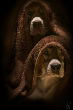 Hound dogs under cover....
