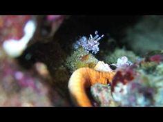 東京から近い熱海沖初島のダイビングでフリソデエビを見る