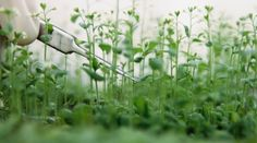 Plant protein behaves like a prion : Nature News & Comment
