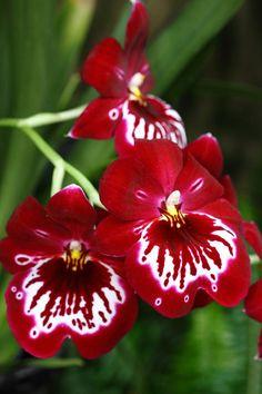 Beautiful indoor plants - the beauty of the Oncidium orchid - Garden Design Ideas Unusual Flowers, Most Beautiful Flowers, Pretty Flowers, Colorful Flowers, Orquideas Cymbidium, Orchidaceae, Pansies, House Plants, Planting Flowers