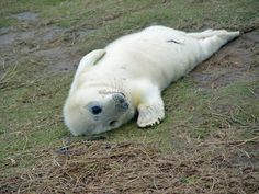 Lincolnshire Coast is full of untapped natural wonders Seal Pup, Baby Seal, Holiday Park, Wildlife Nature, Natural Wonders, Polar Bear, Tourism, Coast, Animals