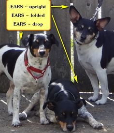 Did you know Rat Terriers have many types of ears? Upright, folded and drop…