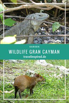 Wir haben auf unserer Karibik Cruise die Blauen Leguane auf Grand Cayman besucht. Sie leben nur dort und sind vom Aussterben bedroht. Der Queen Elisabeth II Botanic Park bietet ihnen einen geschützten Lebensraum.