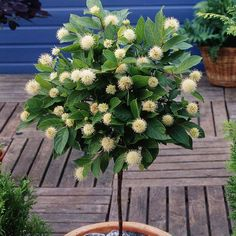 Standard Cephalanthus - 1 tree Buy online order yours now