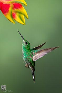Photo Green-crowned Brilliant by Phoo (mallardg500) Chan on 500px