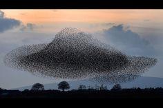 Nuage d'oiseaux en Écosse.