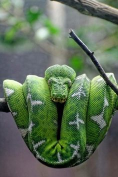 Nap on a twig by Eric Gli Nap like snake. The Animals, Reptiles Et Amphibiens, Mammals, Alligators, Crocodiles, Beaux Serpents, Beautiful Creatures, Animals Beautiful, Beautiful Snakes