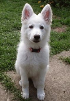 White German Shepherd Puppy: This is the dog me and my guy are gonna get together one day in the future :)