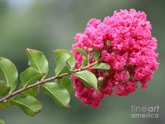 crape myrtle braNCH - Google Search
