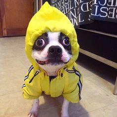 """When life gives you lemons, make lemonade!"" | Boston Terrier Friendzy"