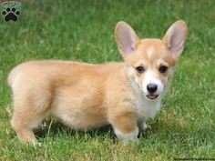 Tess, Welsh Corgi puppy for sale from Honey Brook, PA