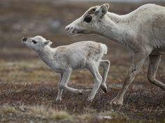 Renar/Reindeers Härjedalen For more pictures see http://niclasahlberg.se/portfolio-item/ren/