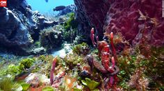 """Can you spot the two seahorses embracing in this seahorse garden? <a href=""""http://ireport.cnn.com/docs/DOC-1141149"""">Bill Schwamle</a> did in Cozumel, Mexico.<br /><br />Click the double arrow to see more underwater photos."""